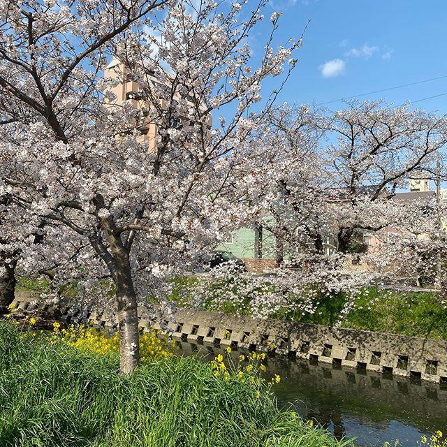 岩倉五条川桜の美しい事 菜の花の黄色 空の青 桜の桃色 美しい日本 #岩倉  #桜  #フォト  #川  #五条川  #清須市